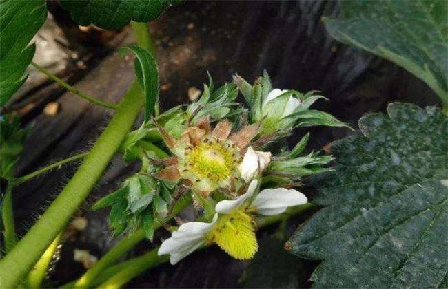 草莓花期管理技术要点