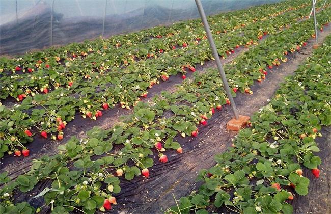 草莓 花期管理 技术要点