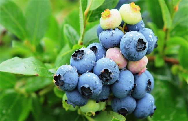 蓝莓种植条件