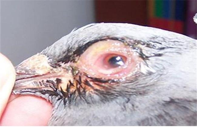 如何治疗鸽子眼睛流泪