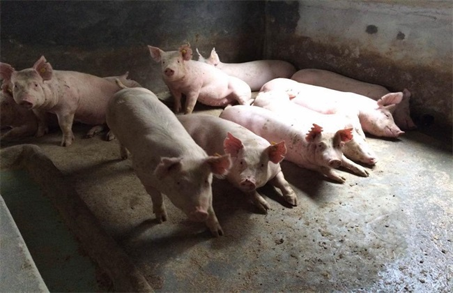 中小型养猪场常见问题