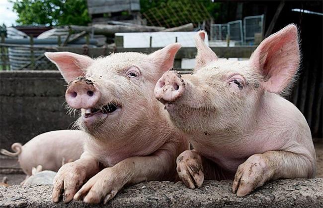 猪圈卫生不合格