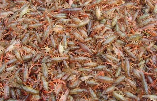 如何提高小龙虾养殖成活率