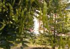 槐角多少钱一斤