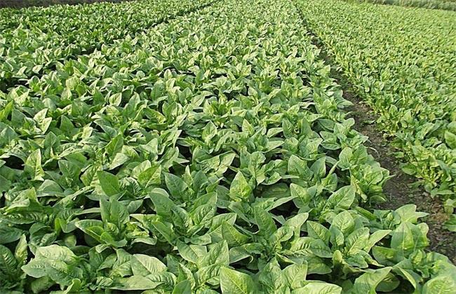 莴苣生长对环境条件的要求