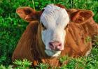 买牛犊前要做什么准备