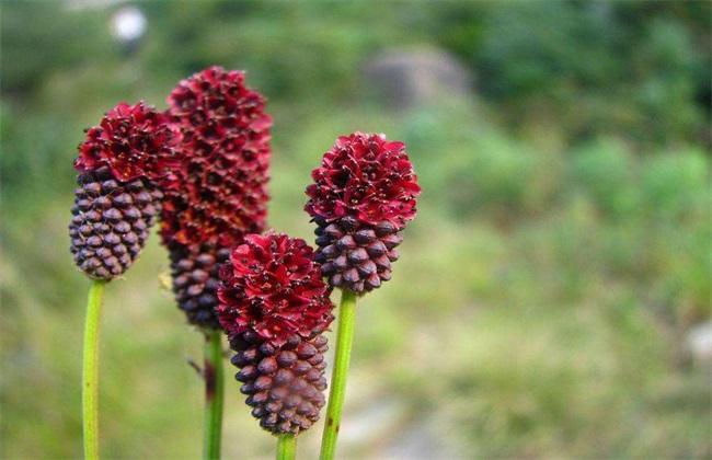 地榆 莳植 技术