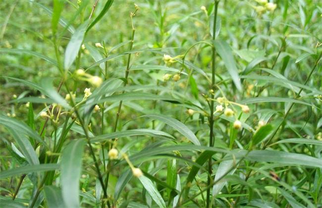 徐长卿 莳植 技术