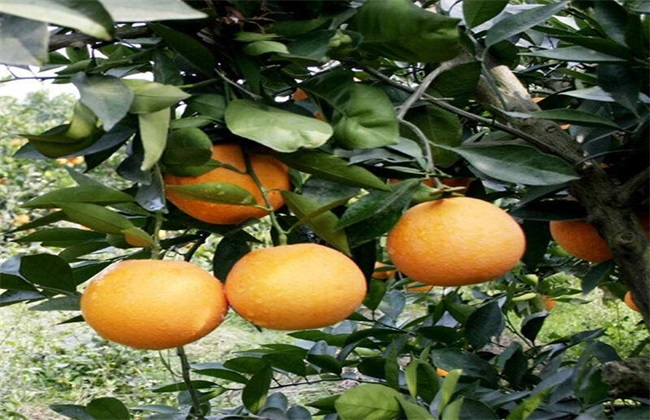 橙子价格多少钱一斤