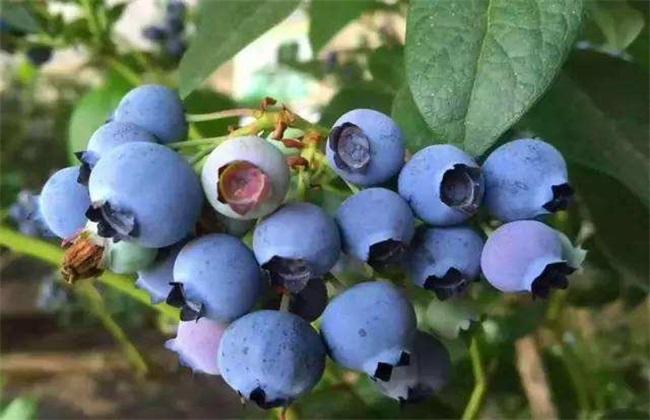 蓝莓 扦插后 管理要点