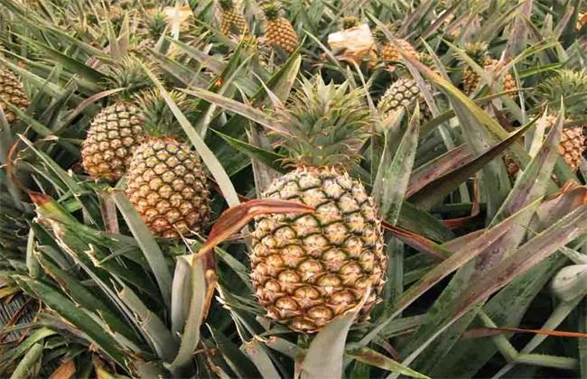 如何预防 菠萝 冻害