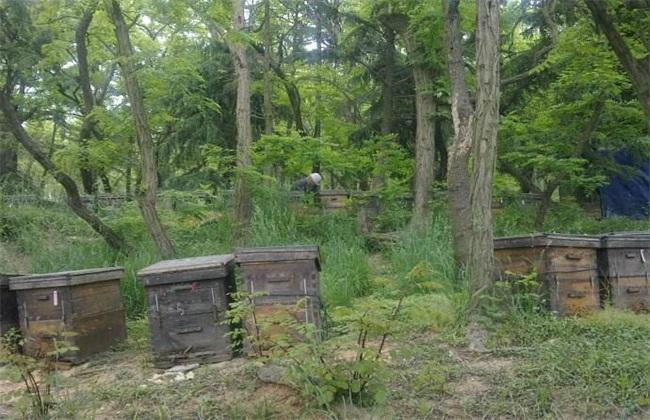 放蜂有什么技巧