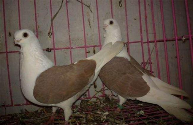 鸽子养殖的误区