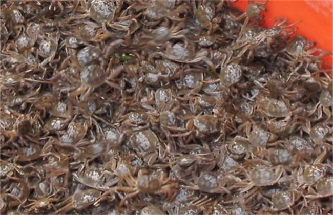 河蟹苗存活率低怎么办