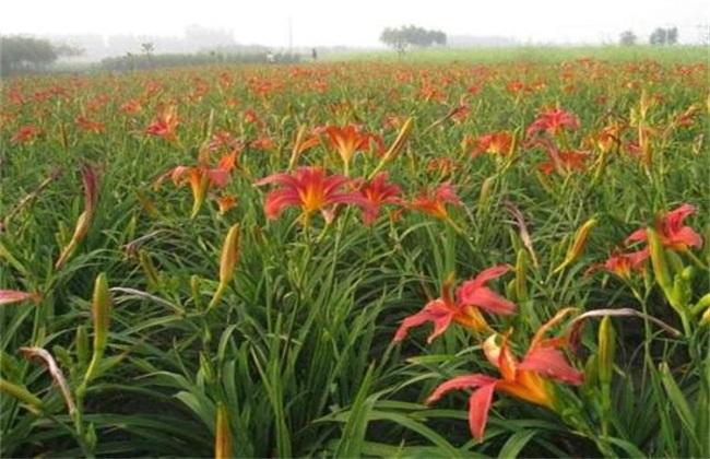 萱草 繁殖 办法