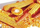 玉米种子的催芽方法