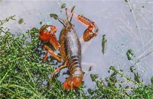 小龙虾养殖 水草 作用