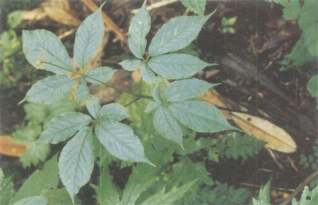 竹節葠的種植技術
