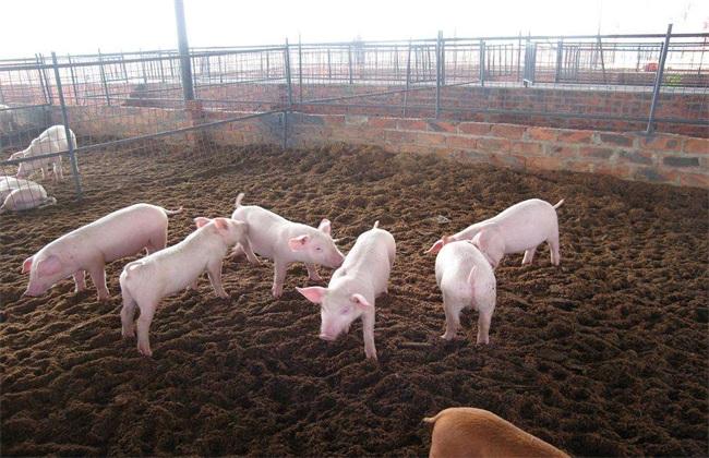生猪养殖 经济效益低 原因