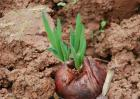 洋葱育苗技术要点