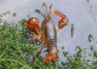 小龙虾养殖水草的作用
