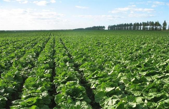 有机大白菜 种植 技术