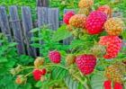 树莓种植技术