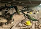 孔雀养殖四季管理要点