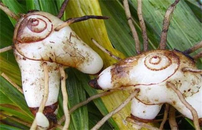 种植白芨常见问题