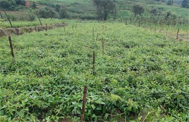 鸡血藤的种植技术