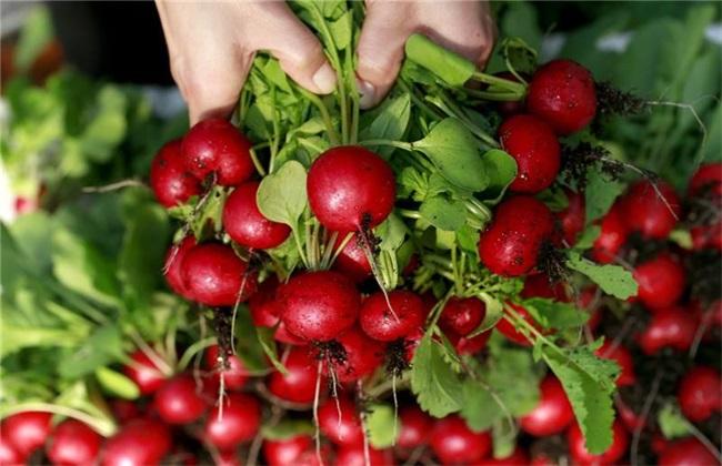 樱桃萝卜的种植方法