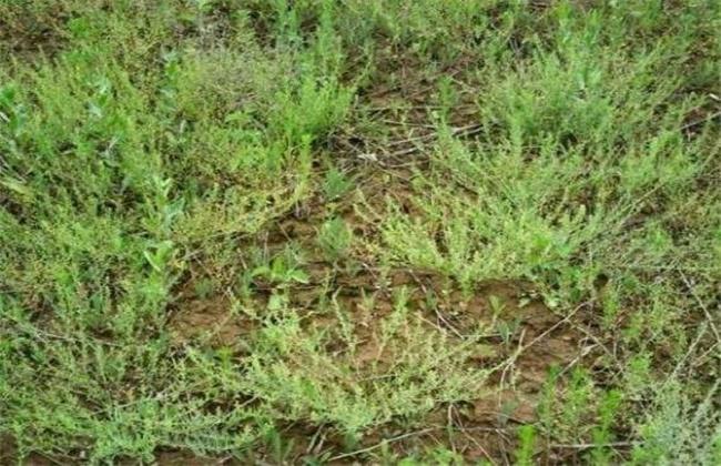 百蕊草的莳植技术