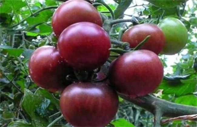 黑番茄 价格 多少钱一斤
