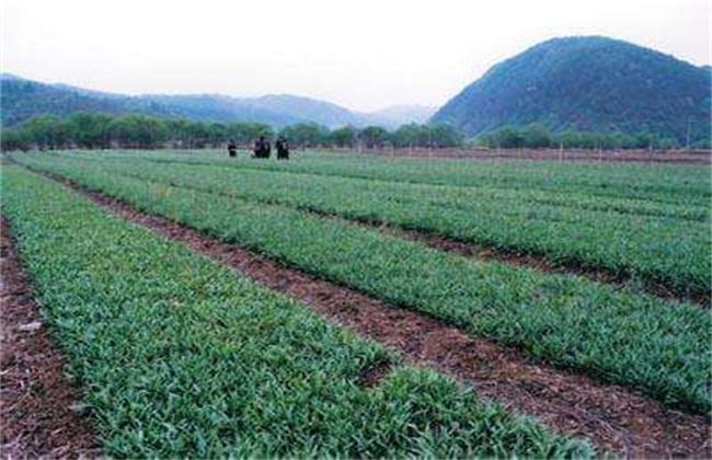 平贝母的种植技术