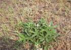 百蕊草的种植技术