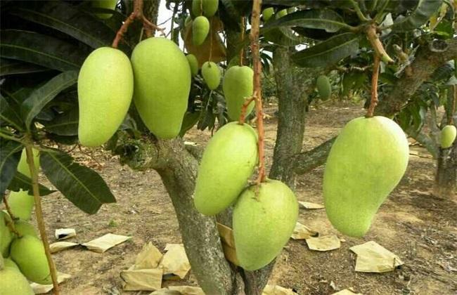 芒果树 修剪 技术