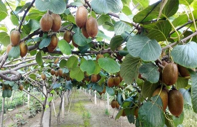 猕猴桃树 修剪 技术