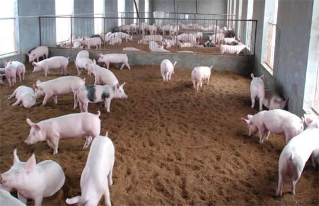 2019年养猪的前景如何