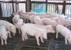 养猪场的饲喂方式有哪些