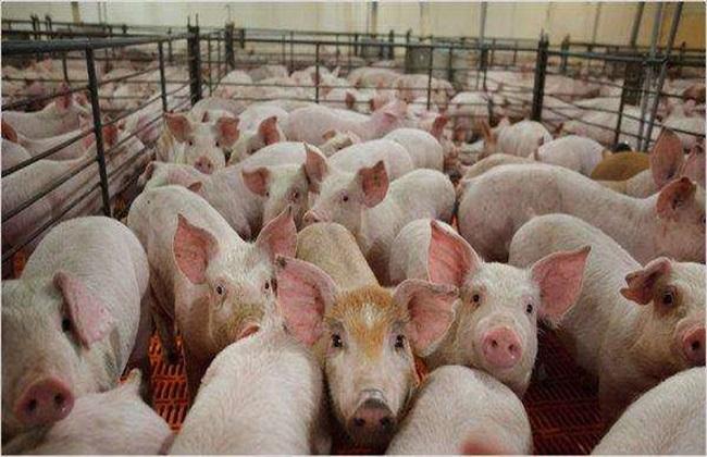 生猪价格今日猪价
