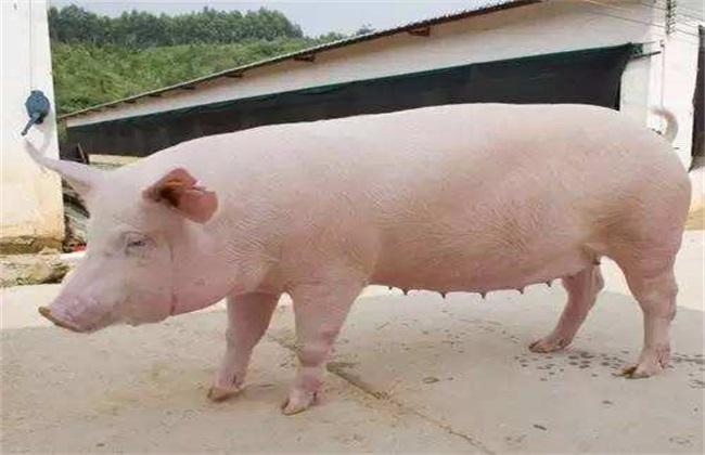 后备母猪饲养管理方法