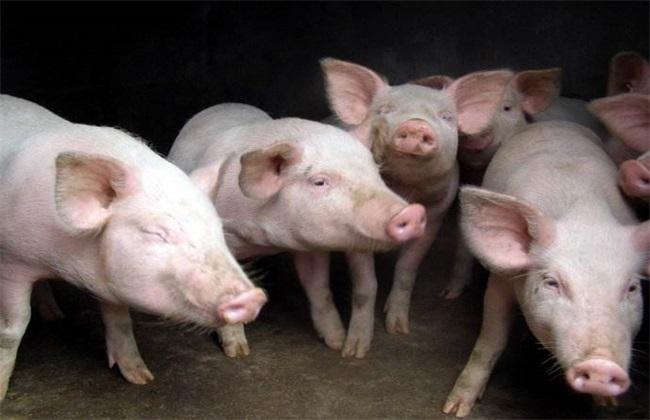 猪疫苗过敏怎么办
