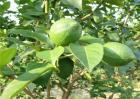 柠檬树怎么修剪