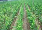 干姜的种植技术
