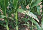 玉米大斑病该怎么办