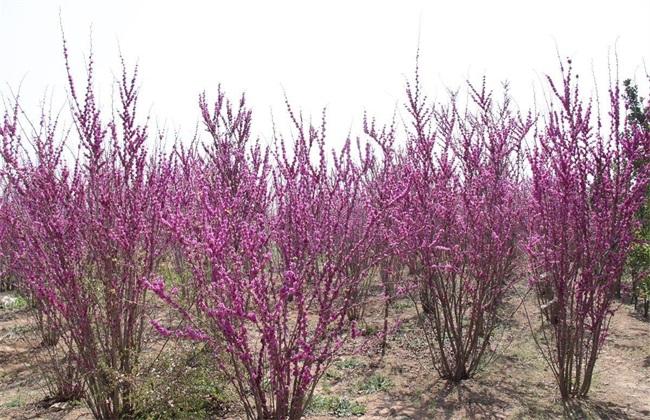 紫荆的栽培管理要点