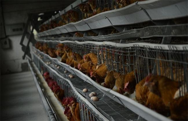 春季养鸡管理要点