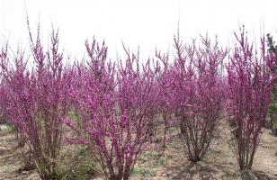 紫荆的栽培技术