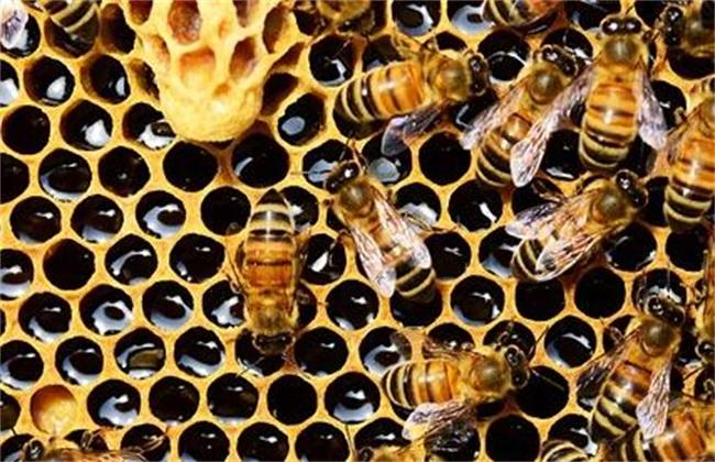 怎么给蜜蜂喂糖