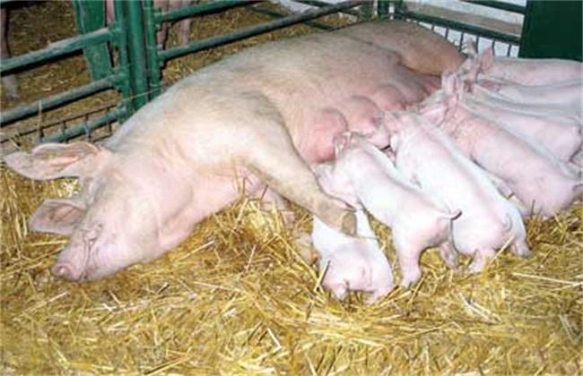 预防母猪压死仔猪的方法